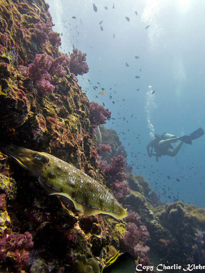 Cuttlefish-diving-krabi-ao-nang-thailand-with-charlie-klehr